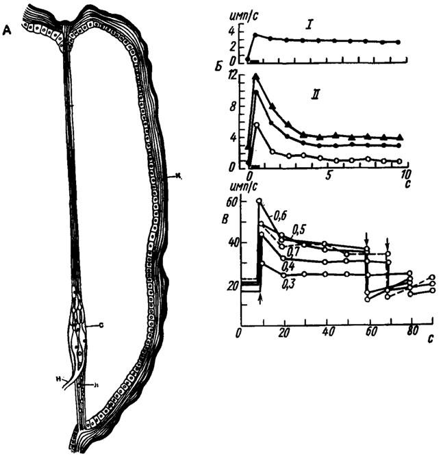 А - схема строения туловищного