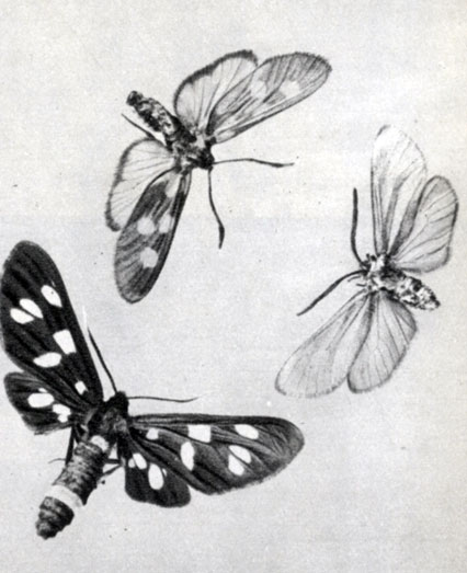 618. Бабочка пестрянки медвянцевой (Zygаеnа angelicae)