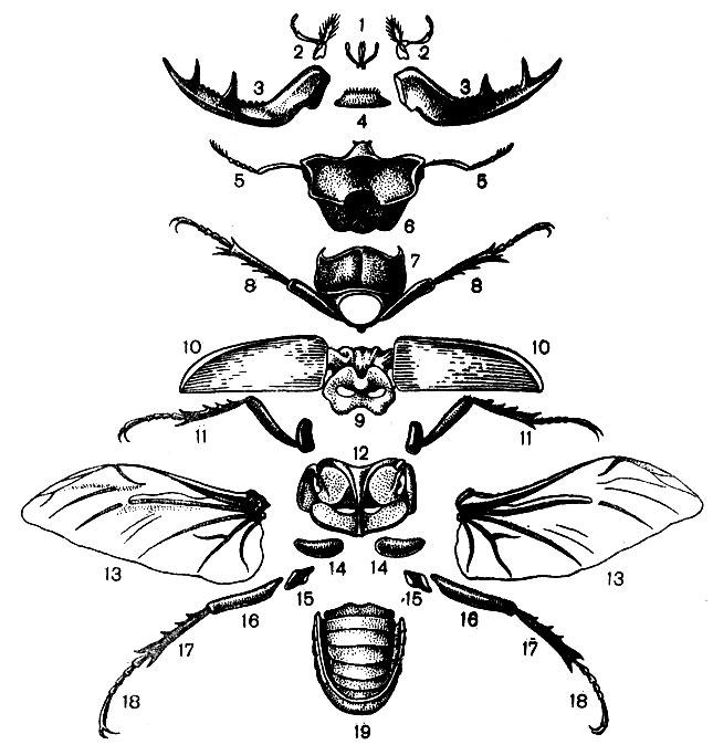 Расчлененный самец жука-оленя: