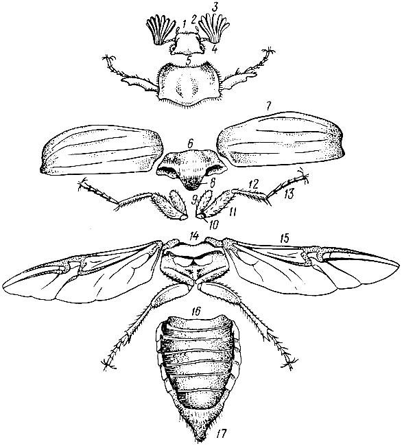 Расчлененный майский жук: 1